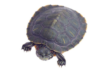 small 4-5 inch turtle isolated on white background