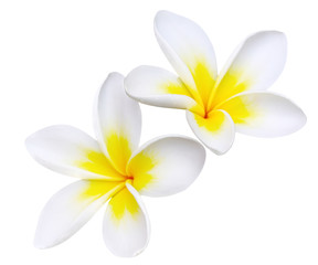 Glorious frangipani or plumeria flowers, with clipping path.