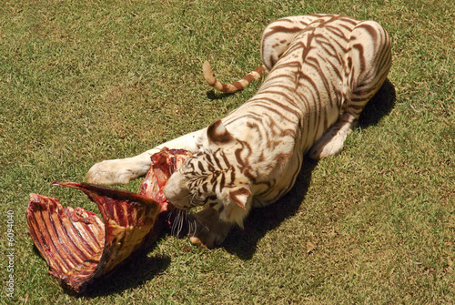 Tiger meat
