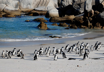 Photo sur Toile Pingouin african penguins on the beach of Atlantic Ocean(South Africa)