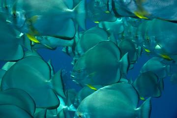 school of spadefish  (platax orbicularis)