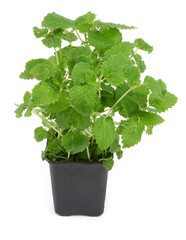 lemon balm on white, natural shadow ath the left side