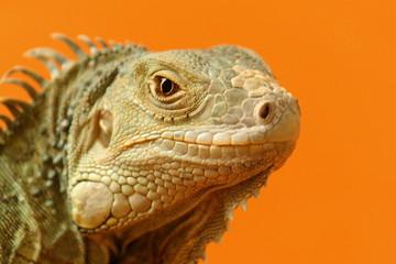 Leguan orange 7