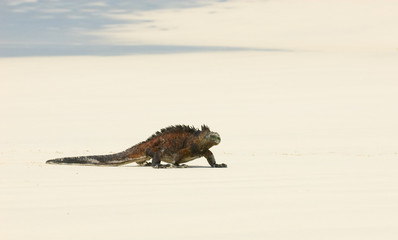 marine iguana in the beach, galapagos islands, ecuador