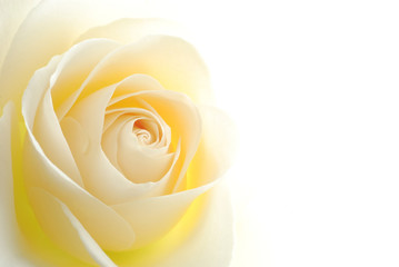 Close-up of soft white rose flower against white background