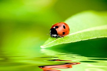 Ladybug balanced on a bright green leaf with reflection