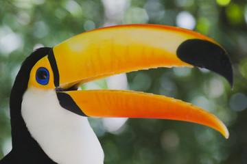 Farbenprächtiger Tukan - Ramphastos toco