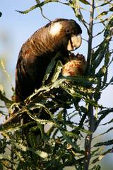 Fototapete - Black Cockatoo