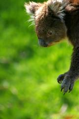 Fototapete - Koala Bear