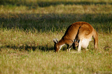 Fototapete - Australian Kangaroo