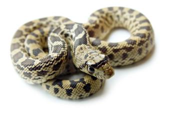 Bull Snake-Gopher Snake