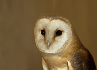 barbagianni an owl with a heart-shaped face and dark eyes