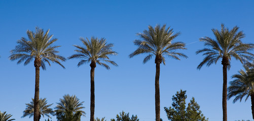 Four palm trees growing in a row