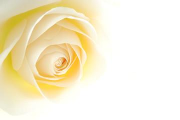 Close-up of soft creamy white rose flower