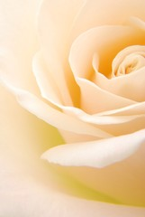 Poster de jardin Macro Close-up of soft creamy white rose flower