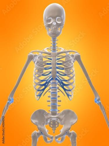 oberkörper eines menschlichen skeletts\
