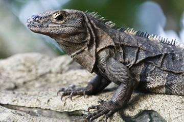 Iguana in Manuel Antonio National Park (Costa Rica)