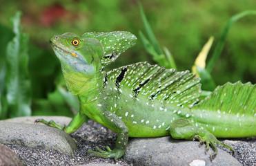 An Emerald Basilisk in Costa Rica