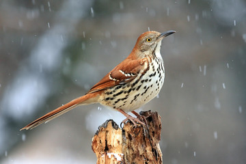 Fotoväggar - Brown Thrasher (Toxostoma rufum) in a Snow Storm
