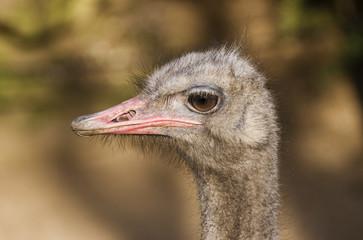 Ostrich head 2