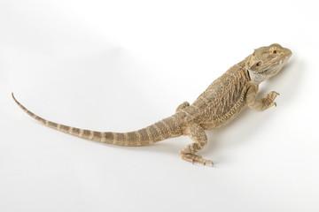 crazy reptile