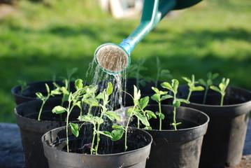 Watering Sweatpea Seedlings