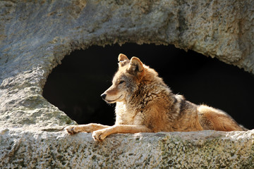 The wolf brightly shined by the sun lays near a cave