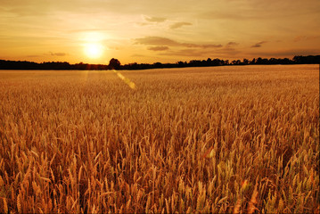 Foto op Plexiglas Platteland Field of wheat at sunset