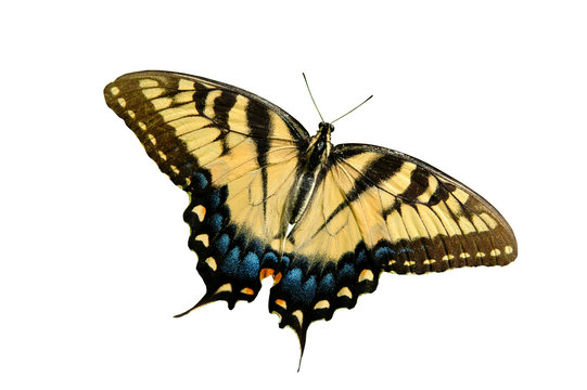 Eastern Tiger Swallowtail butterfly isolated on white.