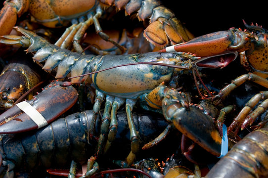 Live lobsters caught in Bar Harbor, Maine