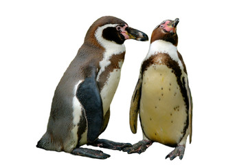 Isolated pare of corting pinguins
