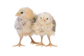 Two cute little chicken on white background