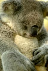 Fototapete - Australian Koala