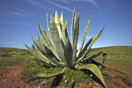 Aloe vera plants in the fields of Portugal