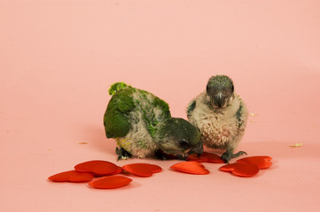 two new born green parrots
