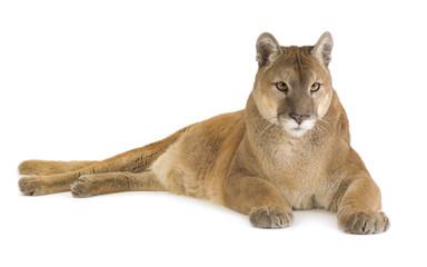 Fototapeten Puma Puma (17 years) - Puma concolor