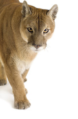 Foto auf Leinwand Puma Puma (17 years) - Puma concolor
