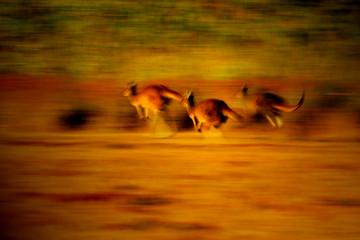Fototapete - Australian Western Grey Kangaroo