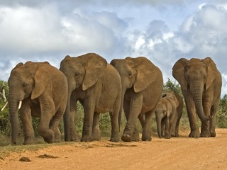 A Breeding herd of Elephant can be very dangerous