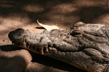 Wall Murals Crocodile Kopf eines heiligen Krokodils in Gambia