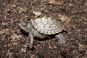 False Map Turtle (Graptemys pseudogeographica)