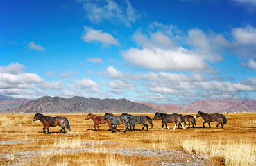Herd of horses in mongolian desert