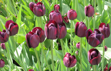 Vinous tulips