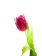 Red tulip on a white background