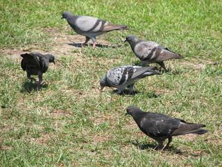wandering pigeons
