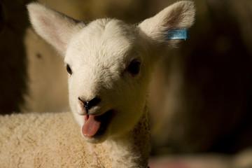 Fototapete - spring lamb
