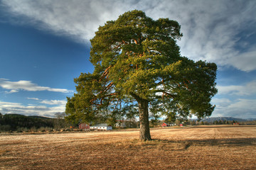 Old pinetree in a field