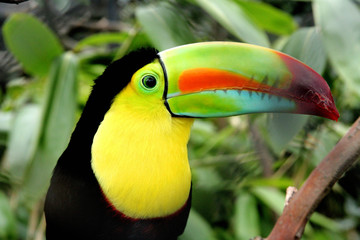 Photo sur Aluminium Toucan Toucan