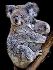 koala mum and cub