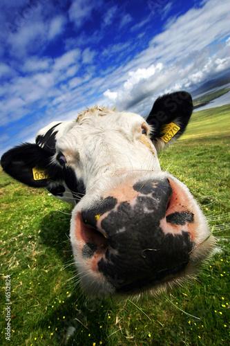 Image De Vache Rigolote Gratuite Race Bovine
